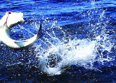 Mangrove-coast-fly-fishers-club-sarasota-tarpon-02
